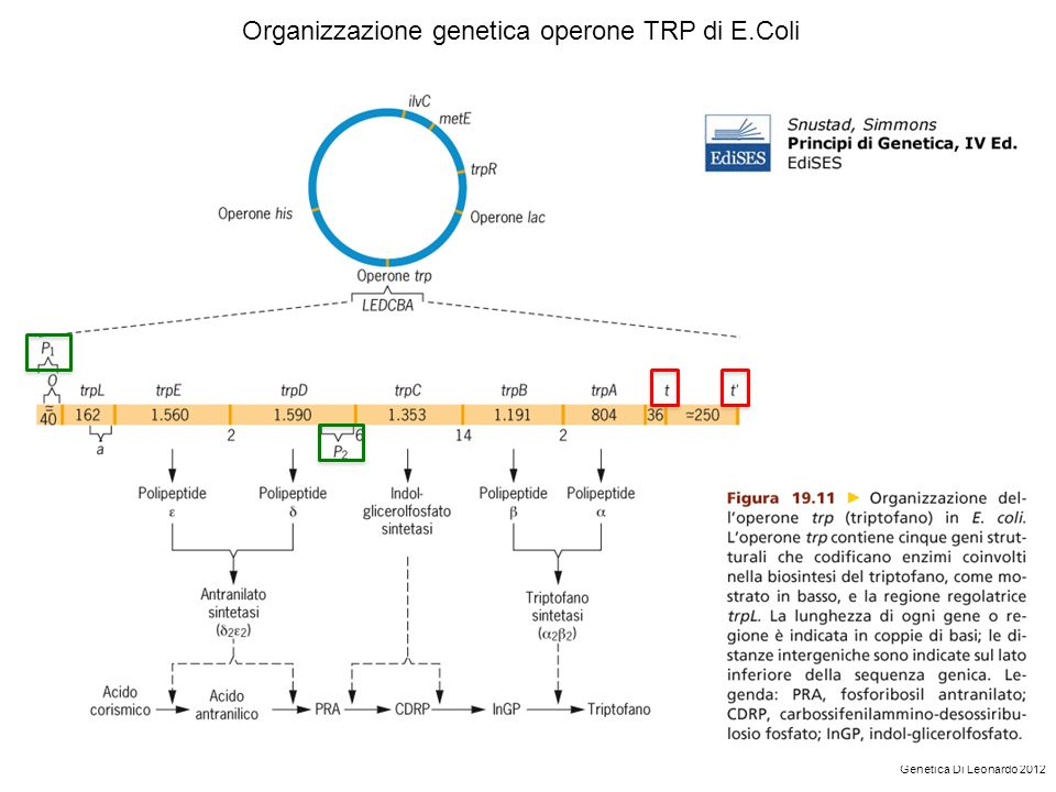Organizzazione genetica operone TRP di E.Coli