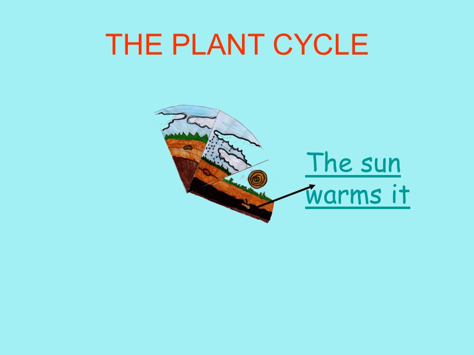 THE PLANT CYCLE The sun warms it