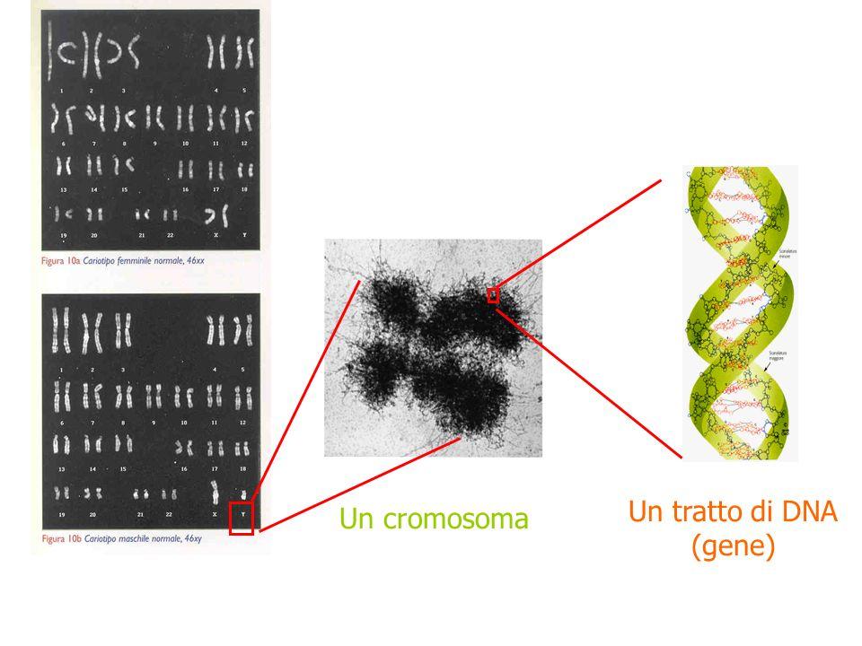 Un tratto di DNA (gene) Un cromosoma Cariotipo