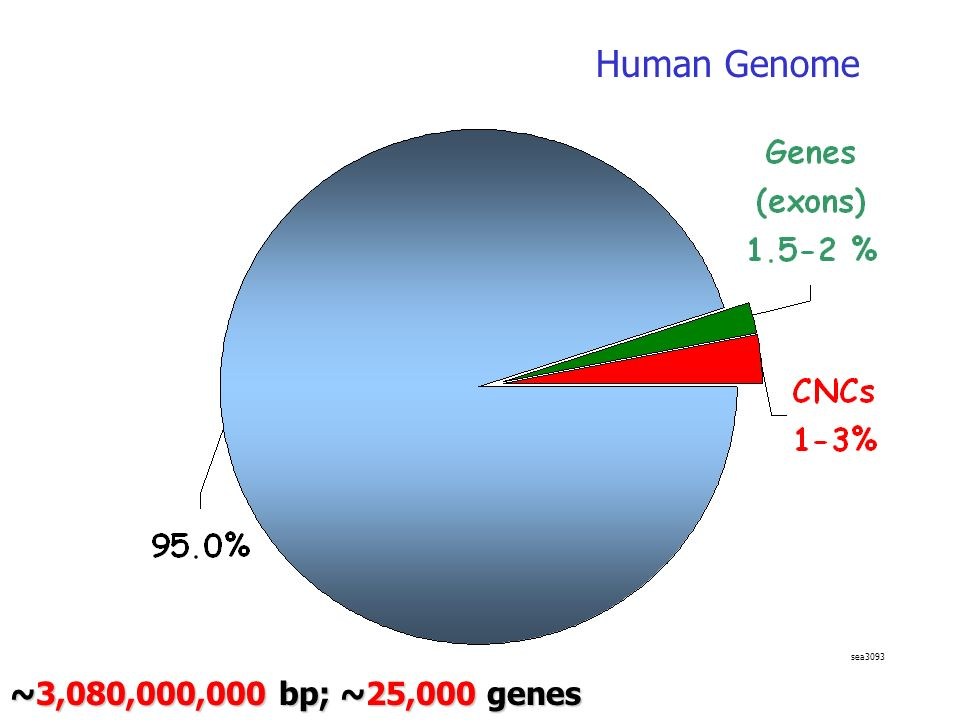 Human Genome sea3093 ~3,080,000,000 bp; ~25,000 genes