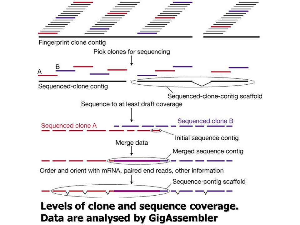 Levels of clone and sequence coverage.