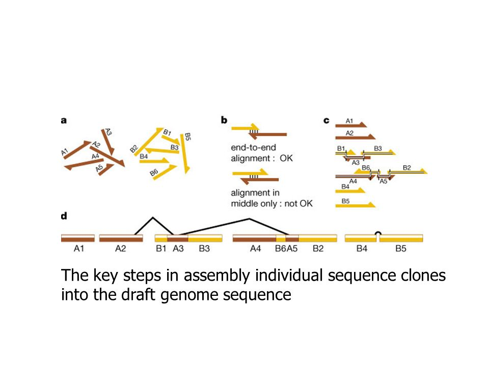 The key steps in assembly individual sequence clones