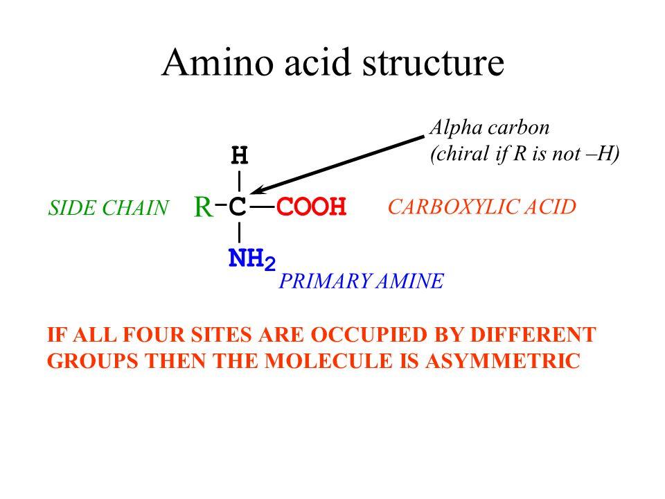 Amino acid structure H R C C O O H N H 2 Alpha carbon
