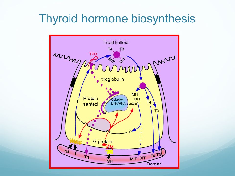 Thyroid hormone biosynthesis