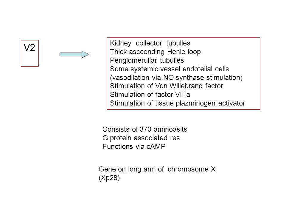 V2 Kidney collector tubulles Thick asccending Henle loop