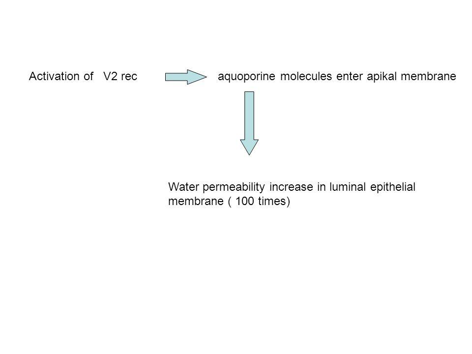 Activation of V2 rec aquoporine molecules enter apikal membrane