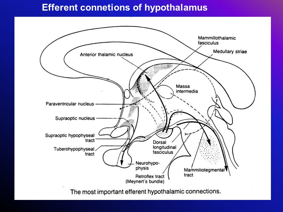 Efferent connetions of hypothalamus