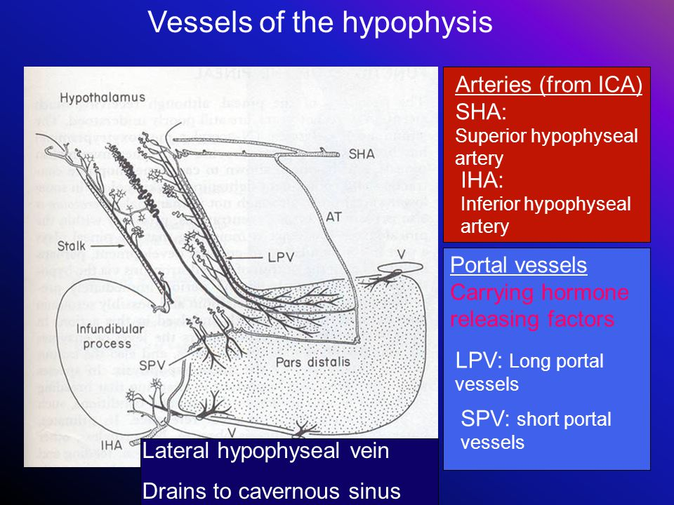 Vessels of the hypophysis