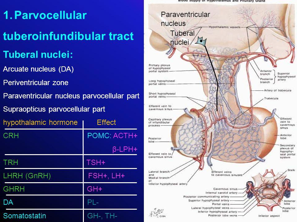 tuberoinfundibular tract