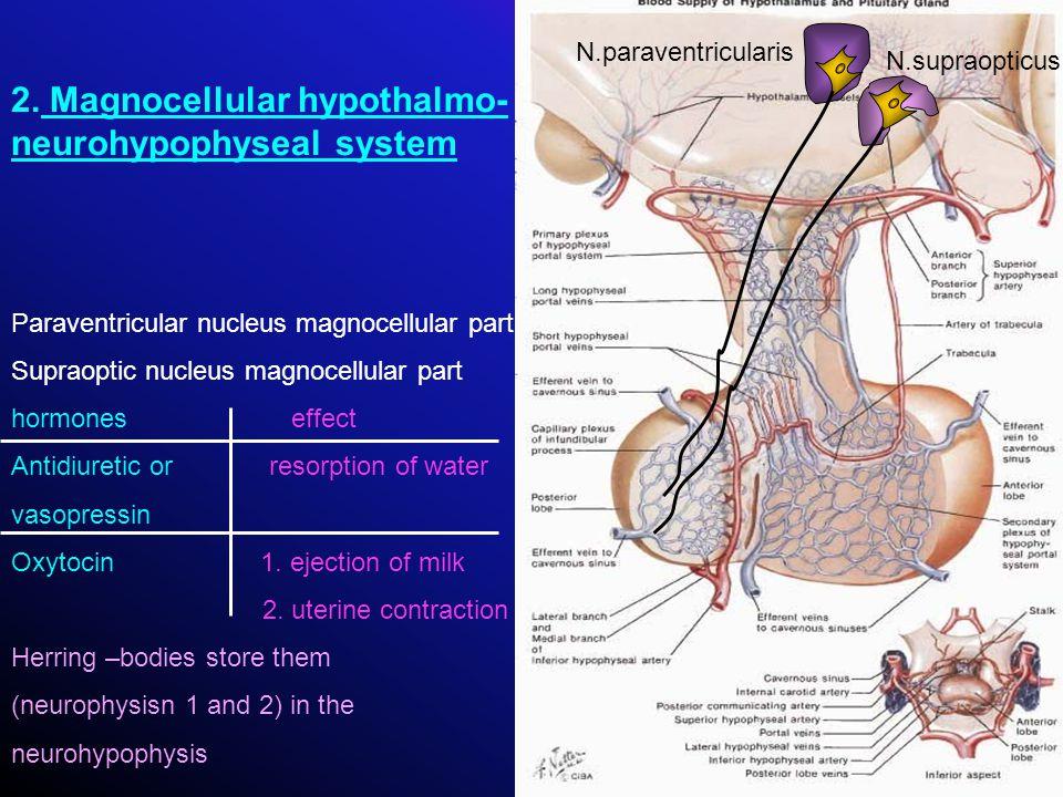2. Magnocellular hypothalmo-neurohypophyseal system