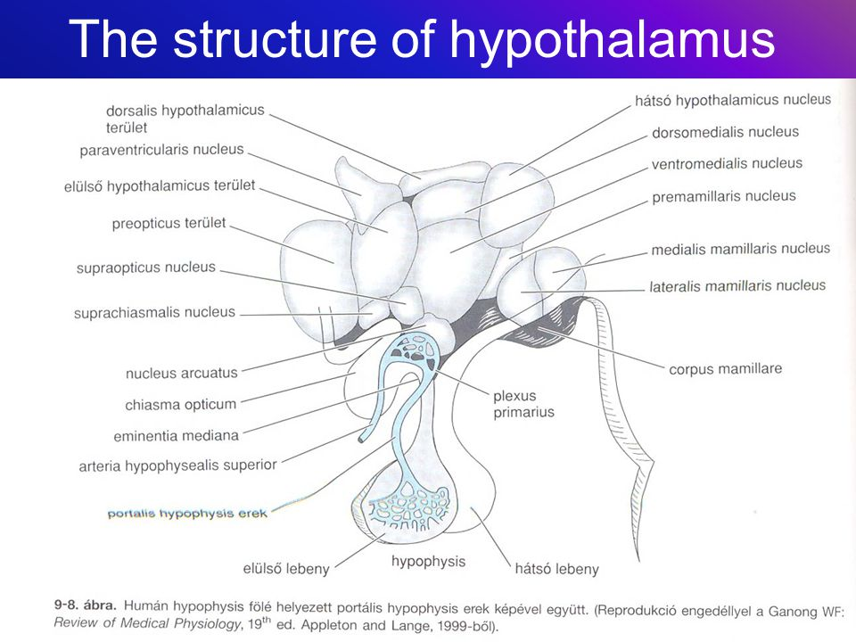 The structure of hypothalamus