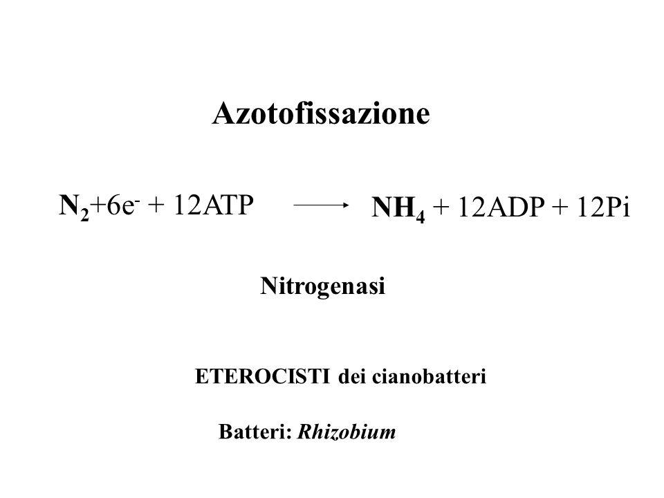ETEROCISTI dei cianobatteri