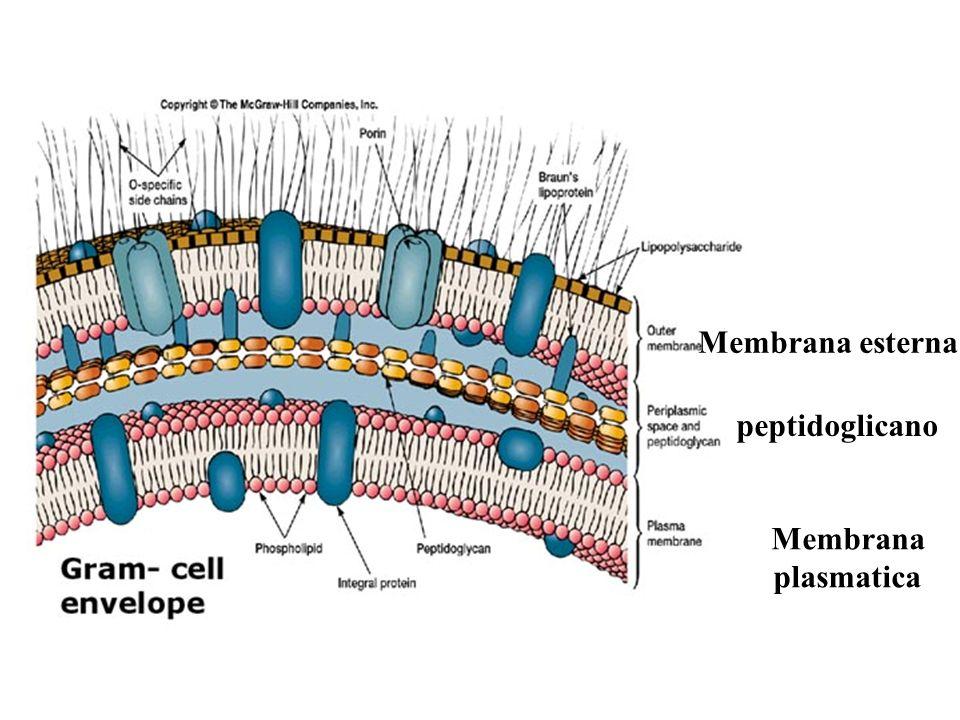 Membrana esterna peptidoglicano Membrana plasmatica