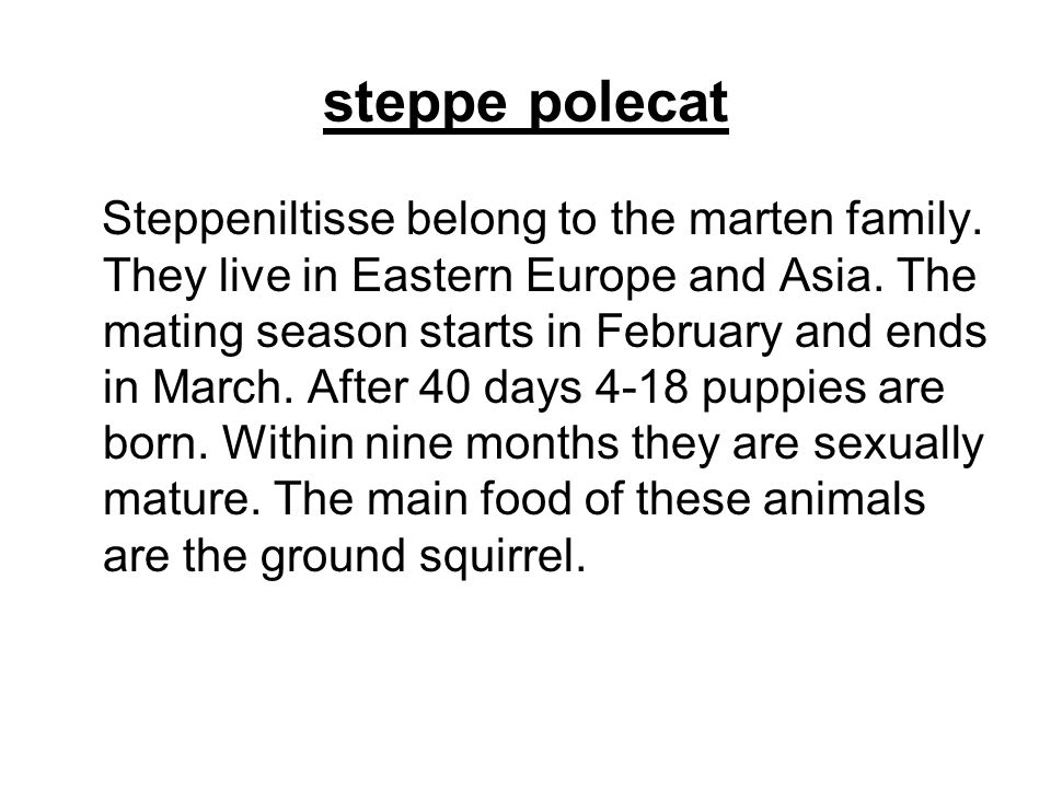 steppe polecat