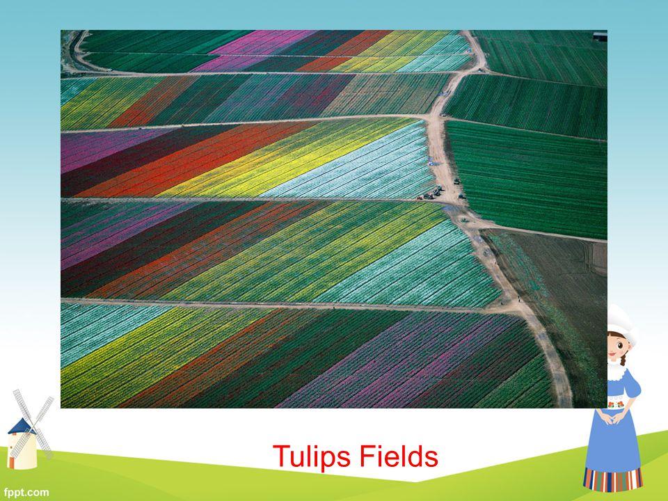 Tulips Fields