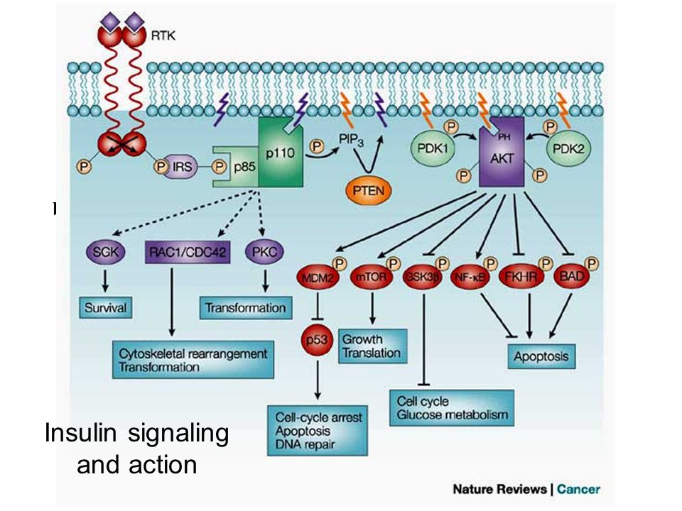 Insulin signaling and action