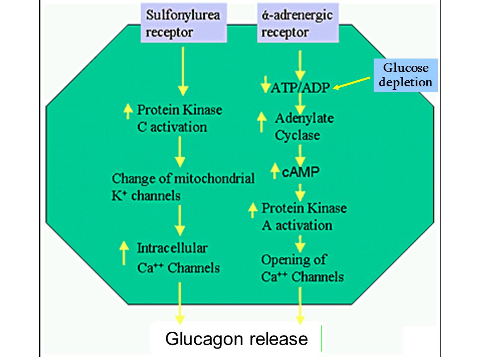 Glucose depletion Glucagon release