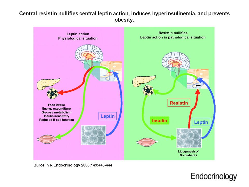 Central resistin nullifies central leptin action, induces hyperinsulinemia, and prevents obesity.