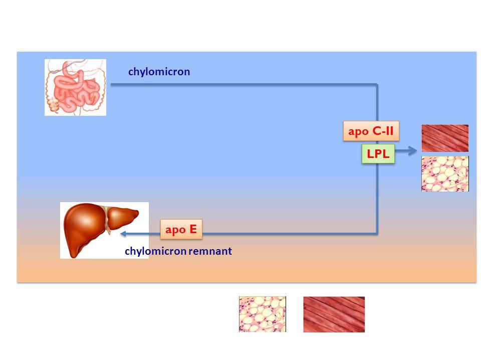 chylomicron apo C-II LPL apo E chylomicron remnant
