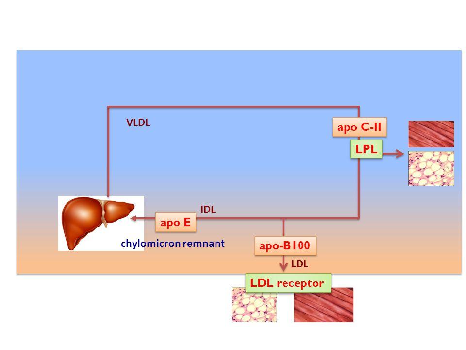 VLDL apo C-II LPL IDL apo E chylomicron remnant apo-B100 LDL LDL receptor