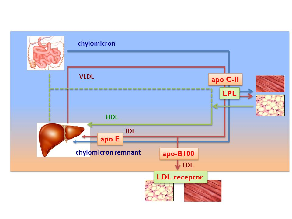 chylomicron VLDL apo C-II LPL HDL IDL apo E chylomicron remnant apo-B100 LDL LDL receptor