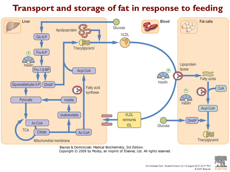 Transport and storage of fat in response to feeding