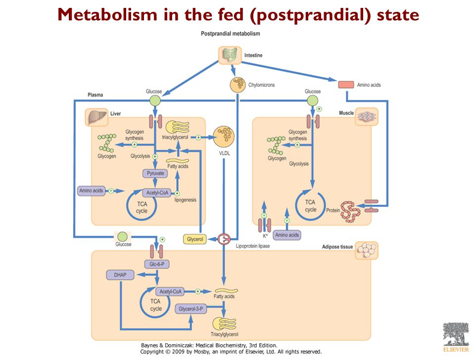 Metabolism in the fed (postprandial) state