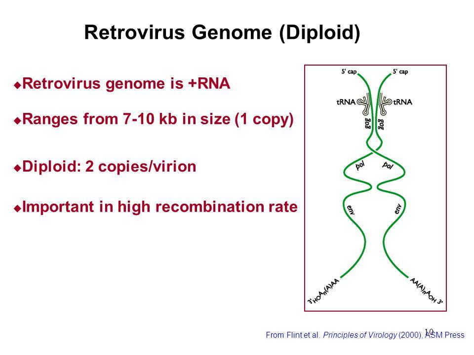 Retrovirus Genome (Diploid)