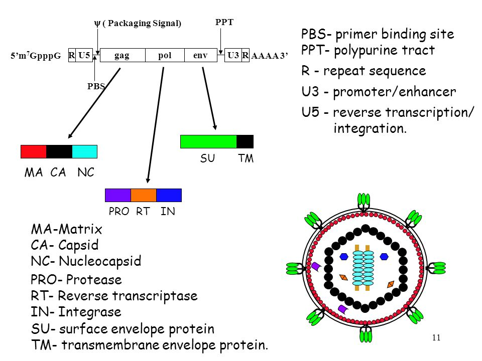 PBS- primer binding site PPT- polypurine tract