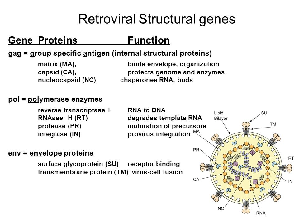 Retroviral Structural genes