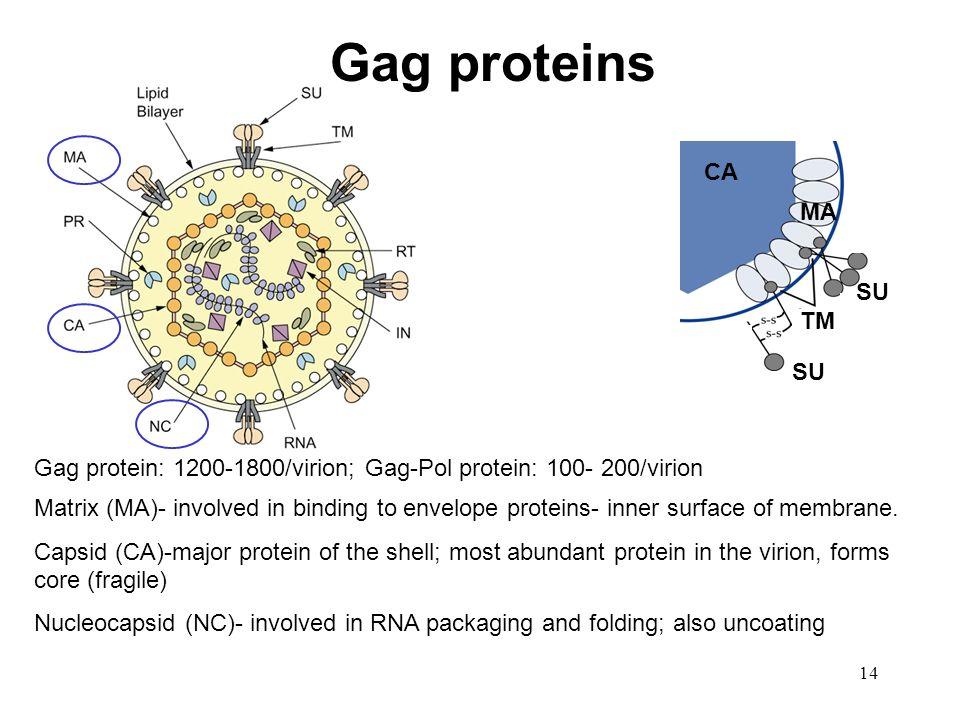 Gag proteins CA MA TM SU SU