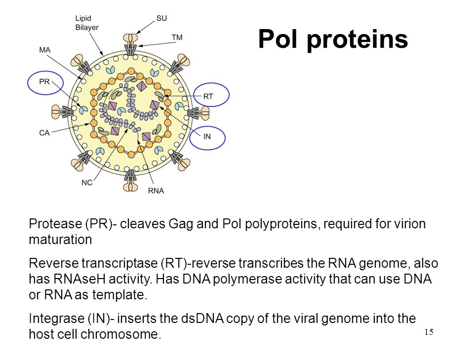 Pol proteins Protease (PR)- cleaves Gag and Pol polyproteins, required for virion maturation.