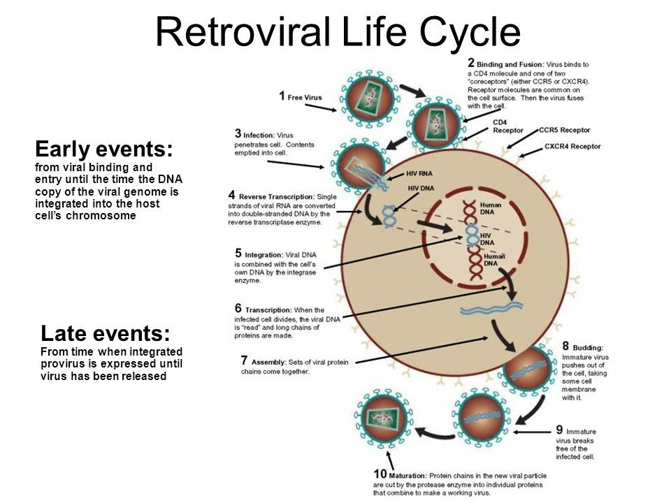 Retroviral Life Cycle Early events: Late events: