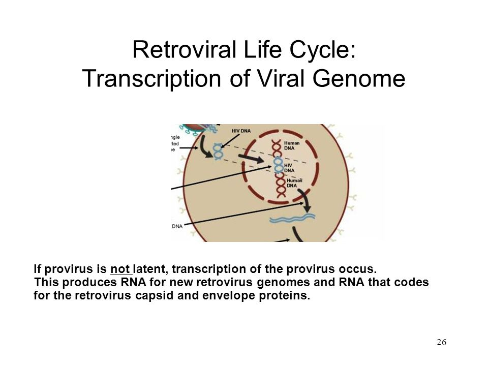 Retroviral Life Cycle: Transcription of Viral Genome