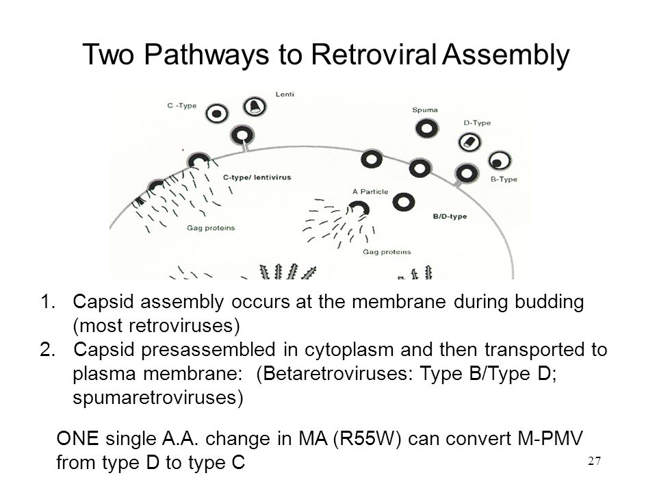 Two Pathways to Retroviral Assembly
