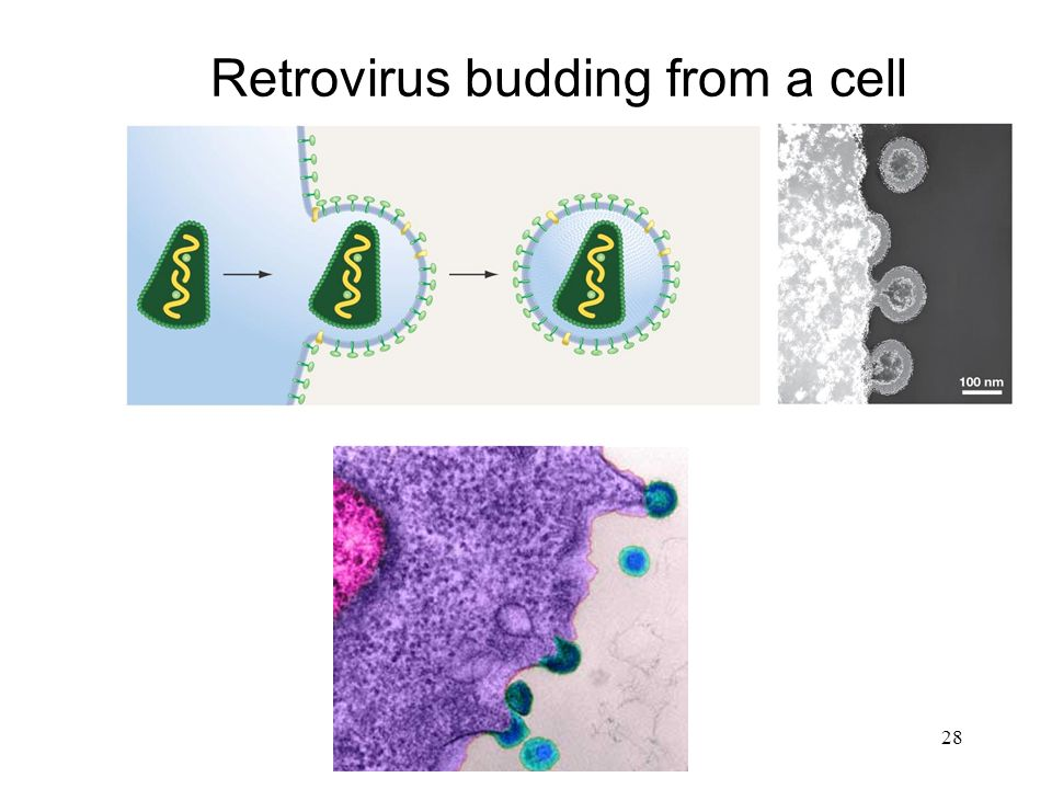 Retrovirus budding from a cell