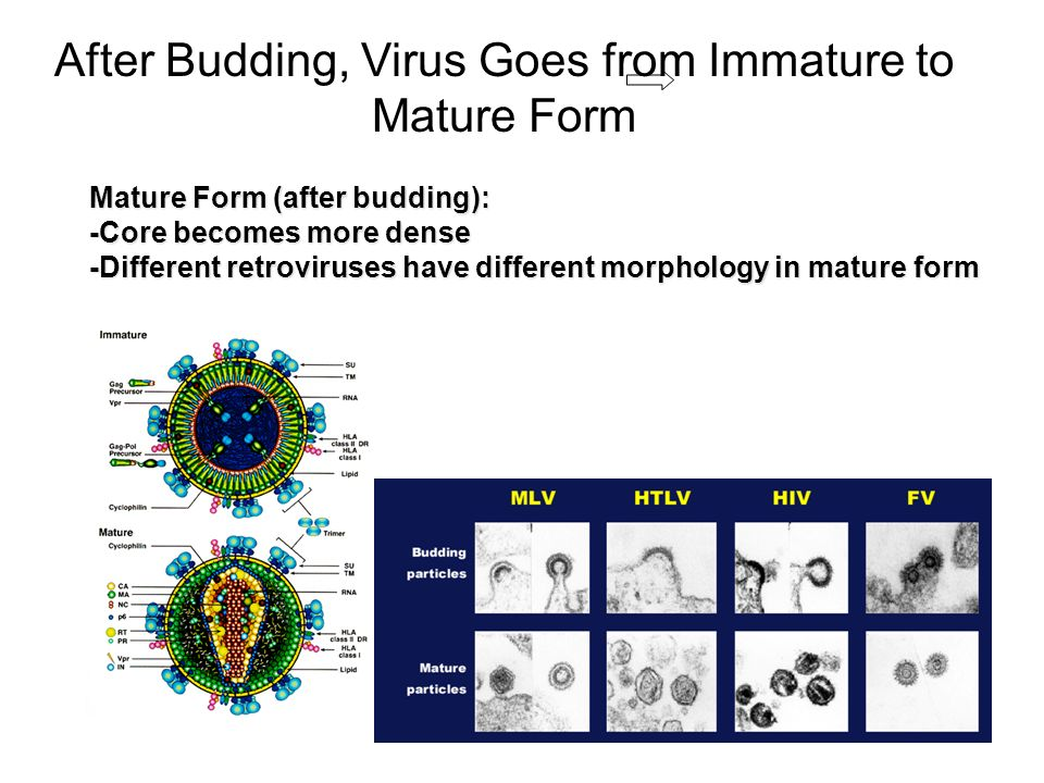 After Budding, Virus Goes from Immature to Mature Form