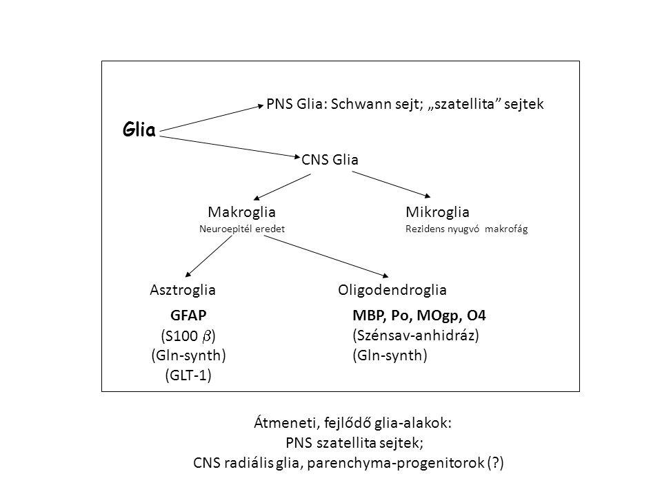 Glia CNS Glia Mikroglia Makroglia Asztroglia Oligodendroglia