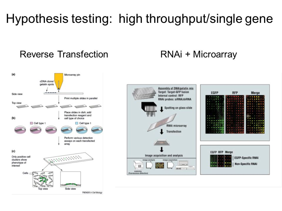 Reverse Transfection RNAi + Microarray