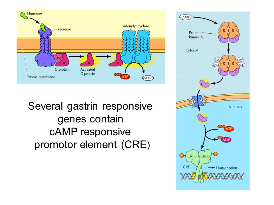Several gastrin responsive genes contain cAMP responsive
