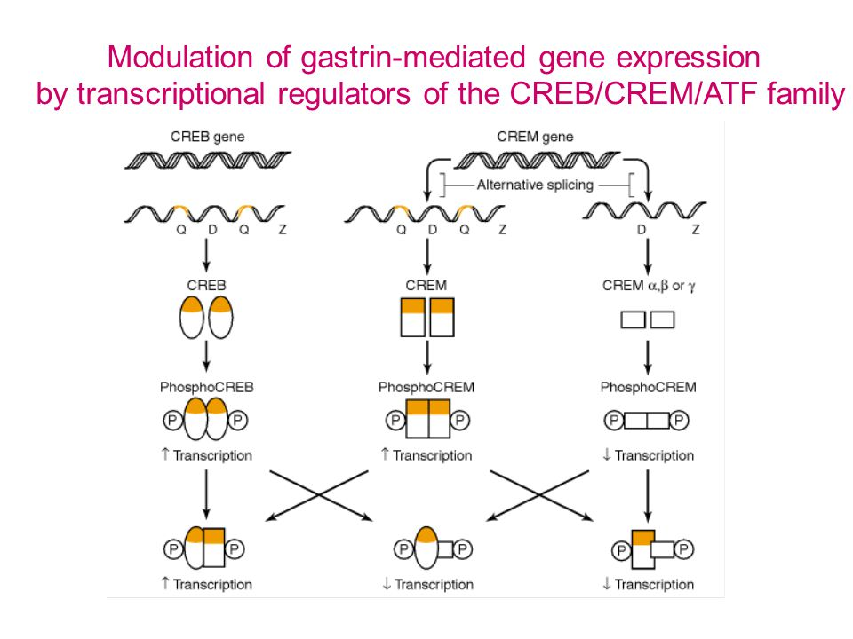 Modulation of gastrin-mediated gene expression