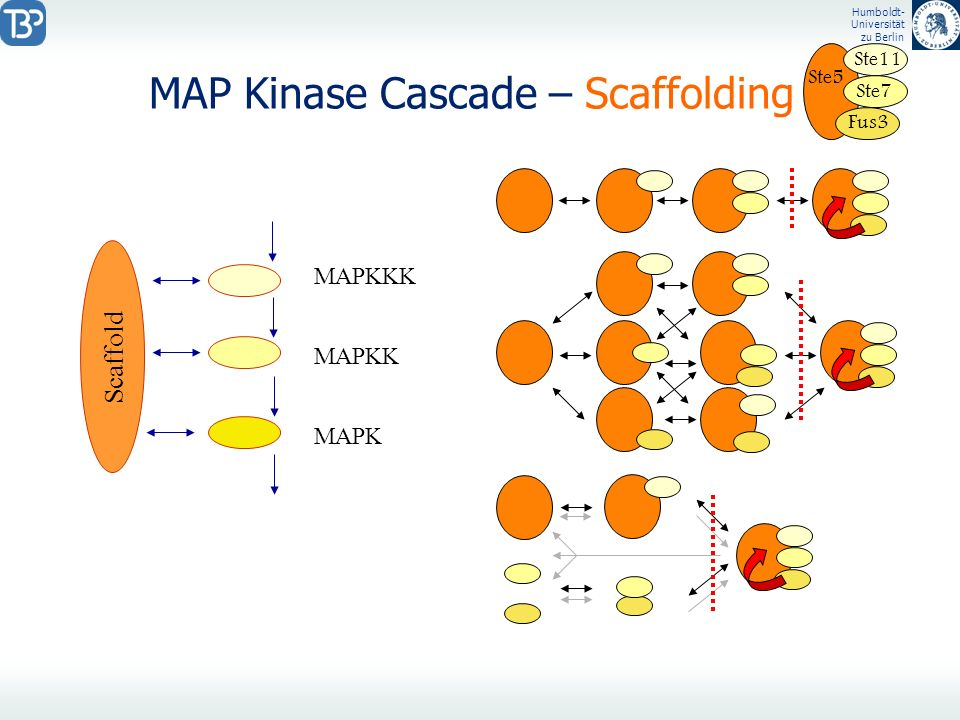MAP Kinase Cascade – Scaffolding