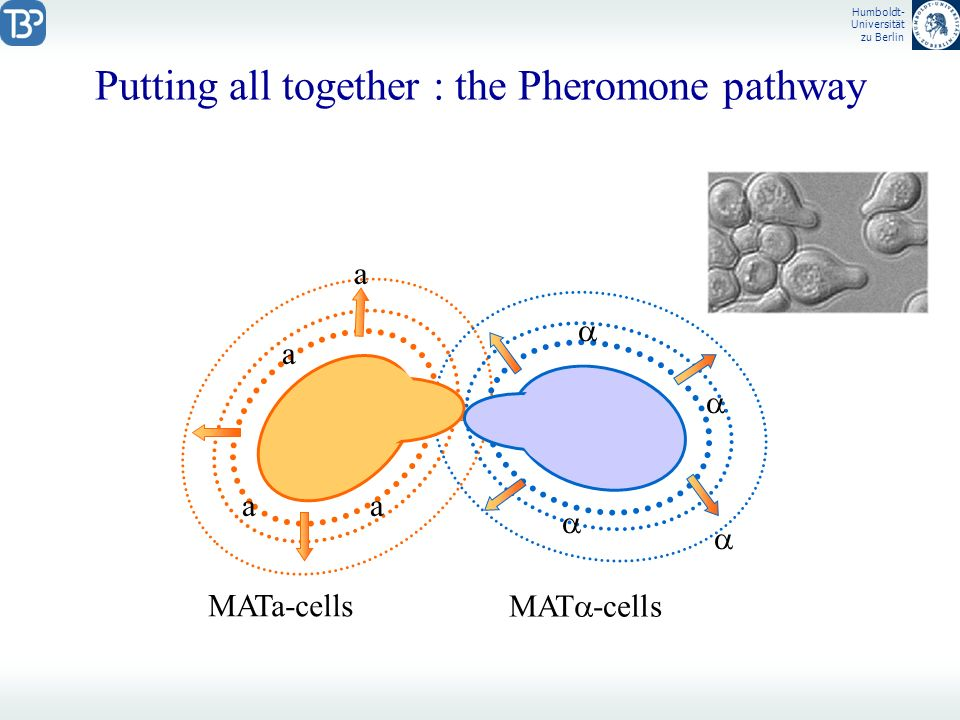 Putting all together : the Pheromone pathway