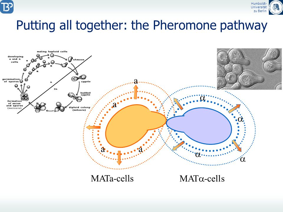 Putting all together: the Pheromone pathway