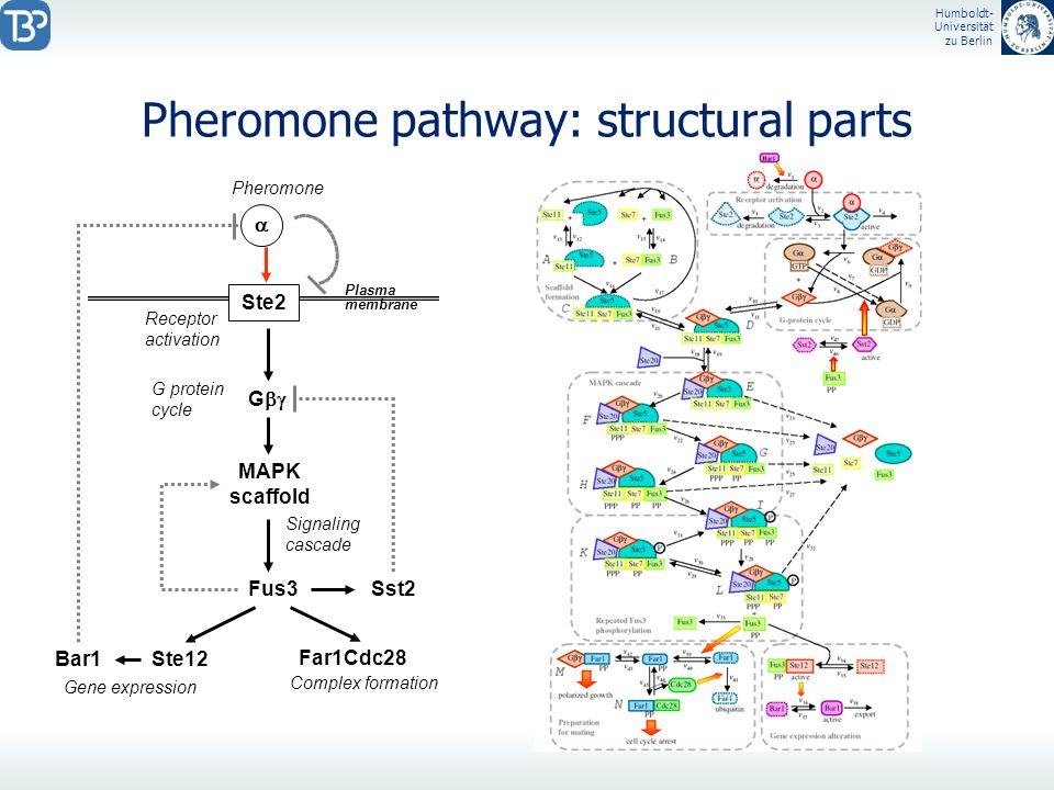 Pheromone pathway: structural parts