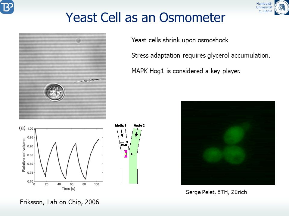 Yeast Cell as an Osmometer