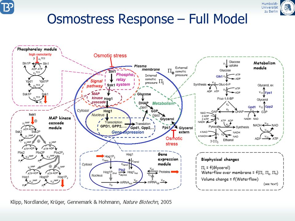 Osmostress Response – Full Model