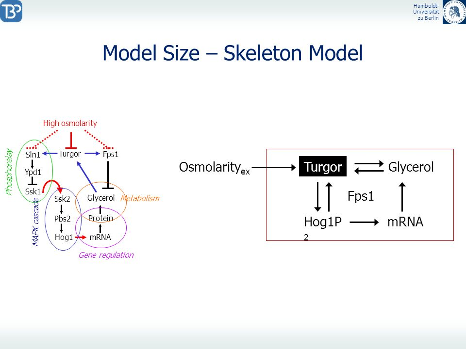 Model Size – Skeleton Model