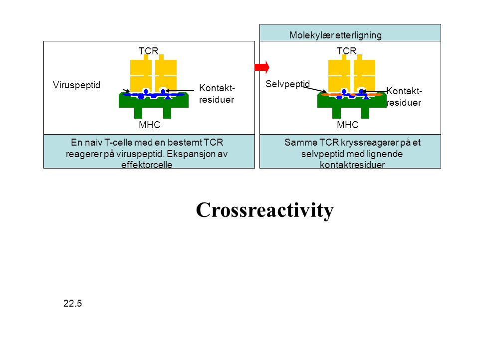 Samme TCR kryssreagerer på et selvpeptid med lignende kontaktresiduer