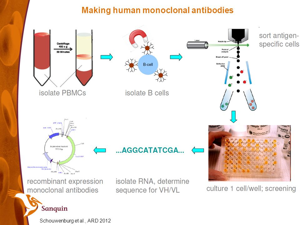 Making human monoclonal antibodies